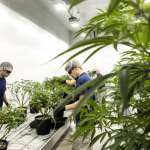 A Canopy Growth Corp. greenhouse legalization