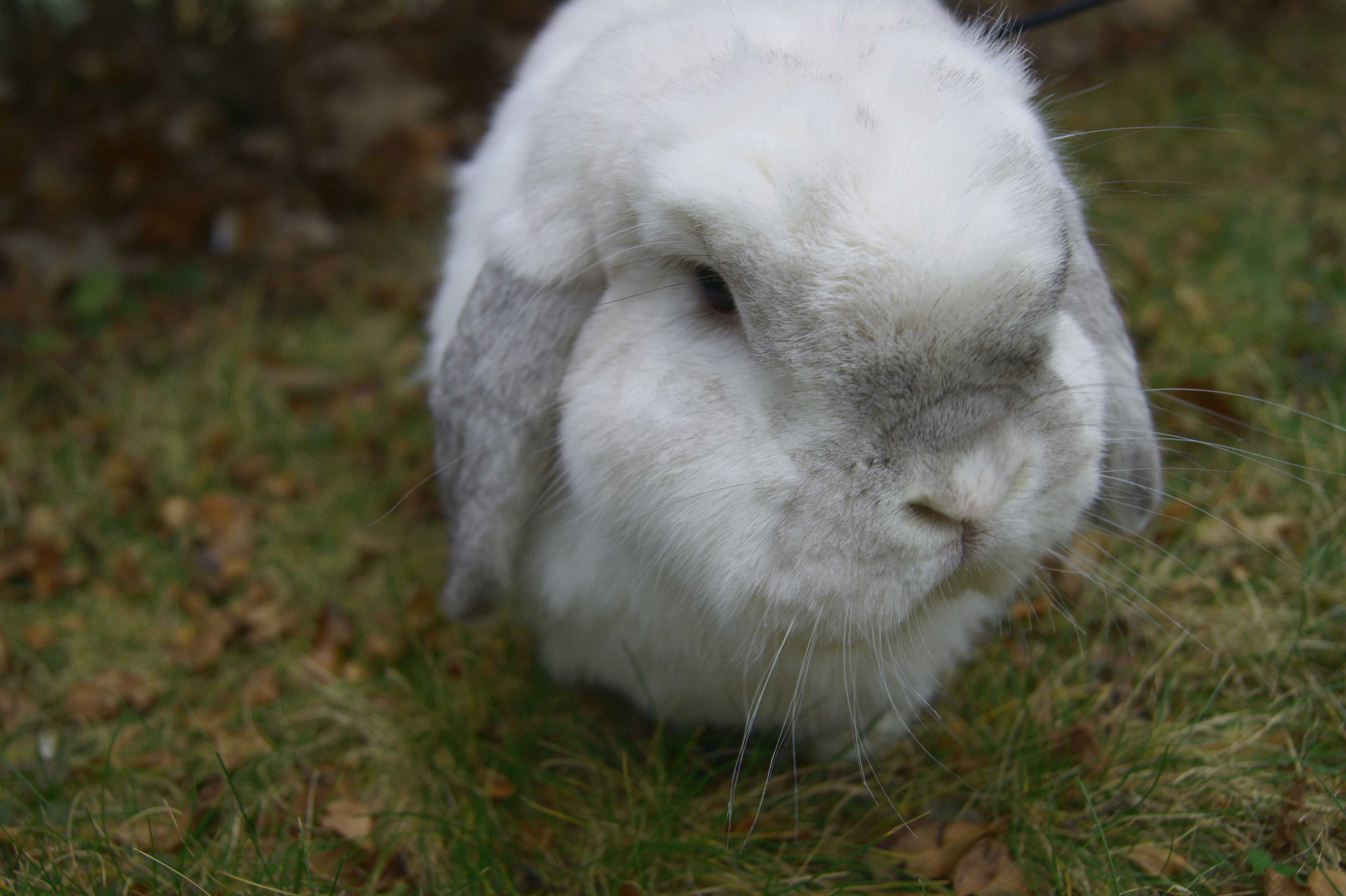 White rabbit in the grass
