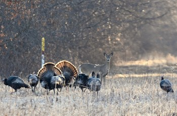 Doe whitetail deer standing in a field with strutting turkeys