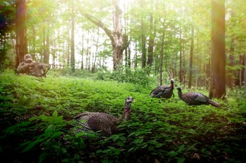 Live turkey with an Avian-X turkey decoy in a green field