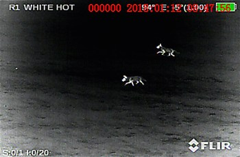 "A pair of coyotes visible using the Armasight by FLIR Zeus Pro set to the ""White Hot"" palette"