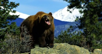 Grizzly bear on a mountain top growling