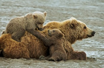Sow grizzly bear with cubs climbing on her