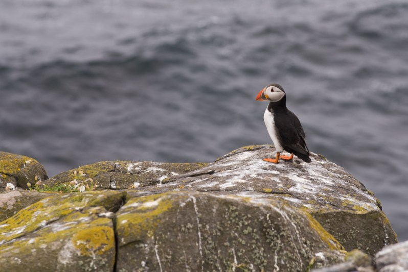 Puffins face an uncertain future