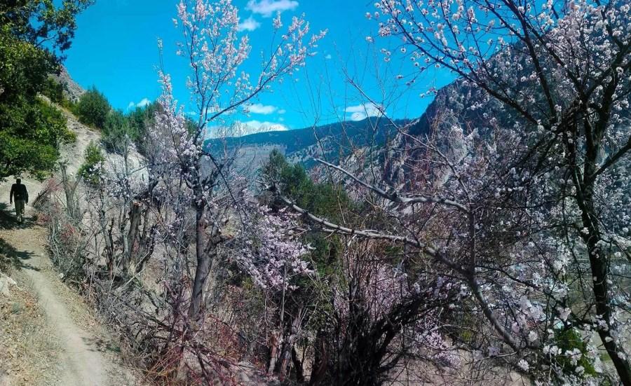Spring Blossoms at Krakal Village, Kalash Valley. Pakistan