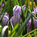 «Репетиция весны» в Аптекарском огороде