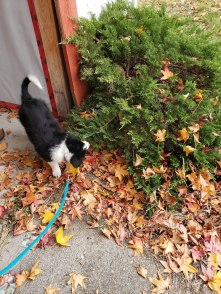 A picture of a black and white border collie puppy on a leash, inspecting some bushes.