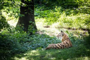 Tiger lounging for an article on Bronx Zoo photo tips