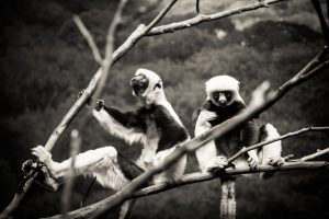 Conquerel's sifakas for an article on Bronx Zoo photo tips