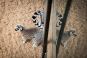 Ring-tailed lemur for an article on Bronx Zoo photo tips