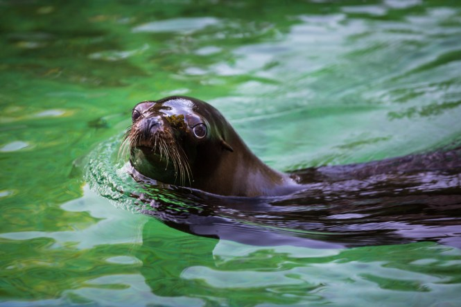 Seal in water for an article on Bronx Zoo wedding venue updates