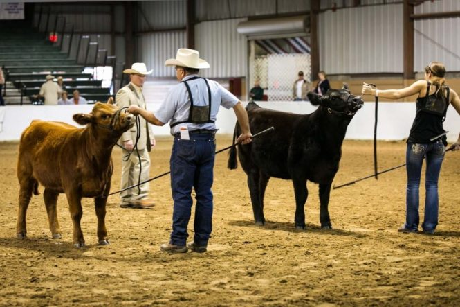 A cattle competition at the Florida State Fair, photographed by NYC photojournalist, Kelly Williams
