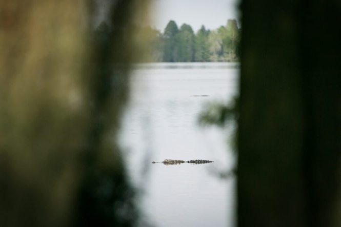 Alligators at the Circle B Bar Reserve by NYC photographer, Kelly Williams