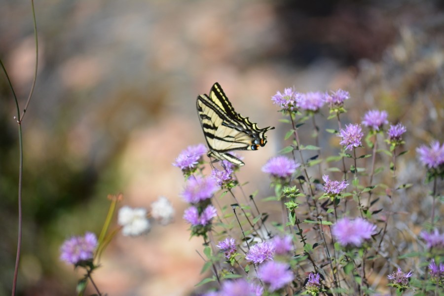 An image of a butterfly on purple wildflowers by Kin Lane