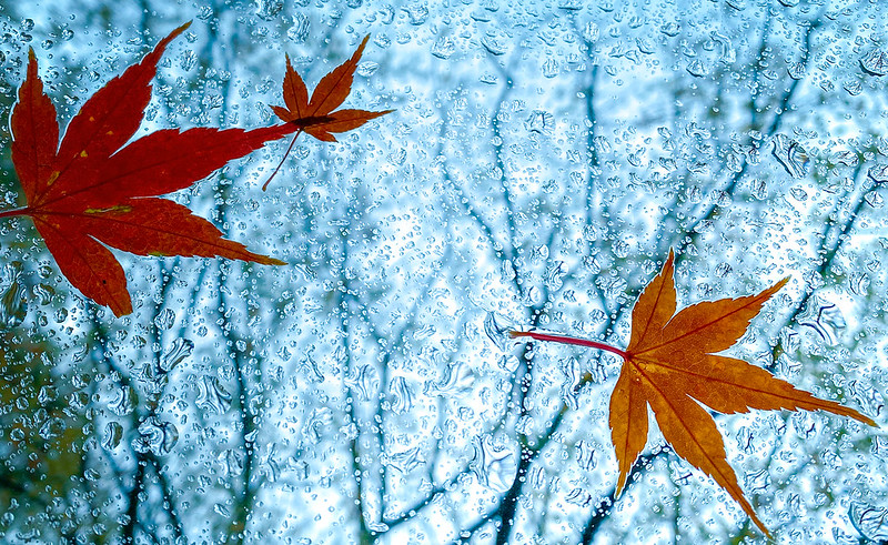 leaves against a wet window in stages of colour change