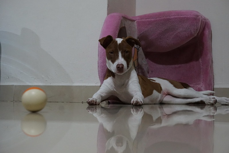 Dog laying on the floor with a pink soft child's chair (Dora the Explorer) behind her. Orange and white ball in the foreground on the floor.