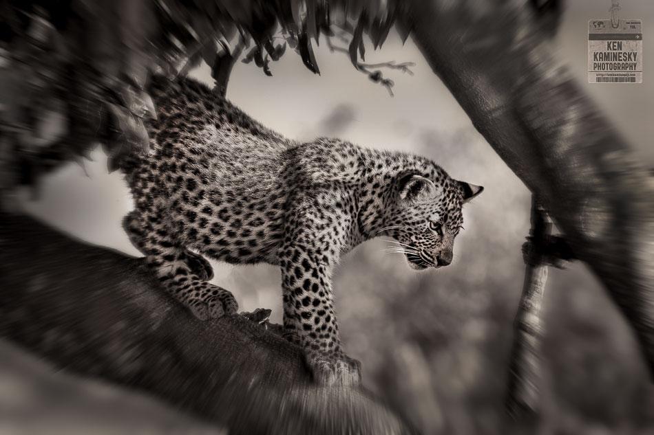 Leopard Tanzania Black and white