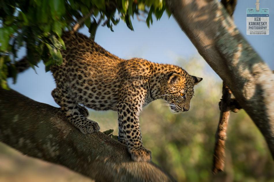 Leopard Tanzania color