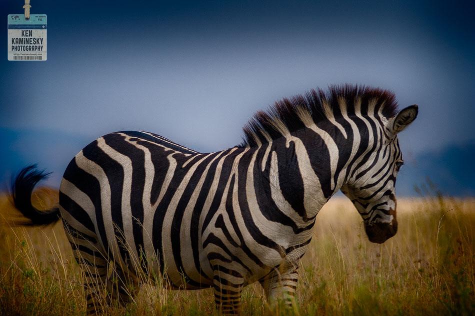 Serengeti Zebra Africa