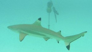 requin1