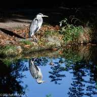 Le héron du lac de Gravelle