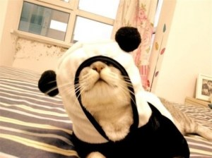 Cute Kitteh in Panda Kigurumi