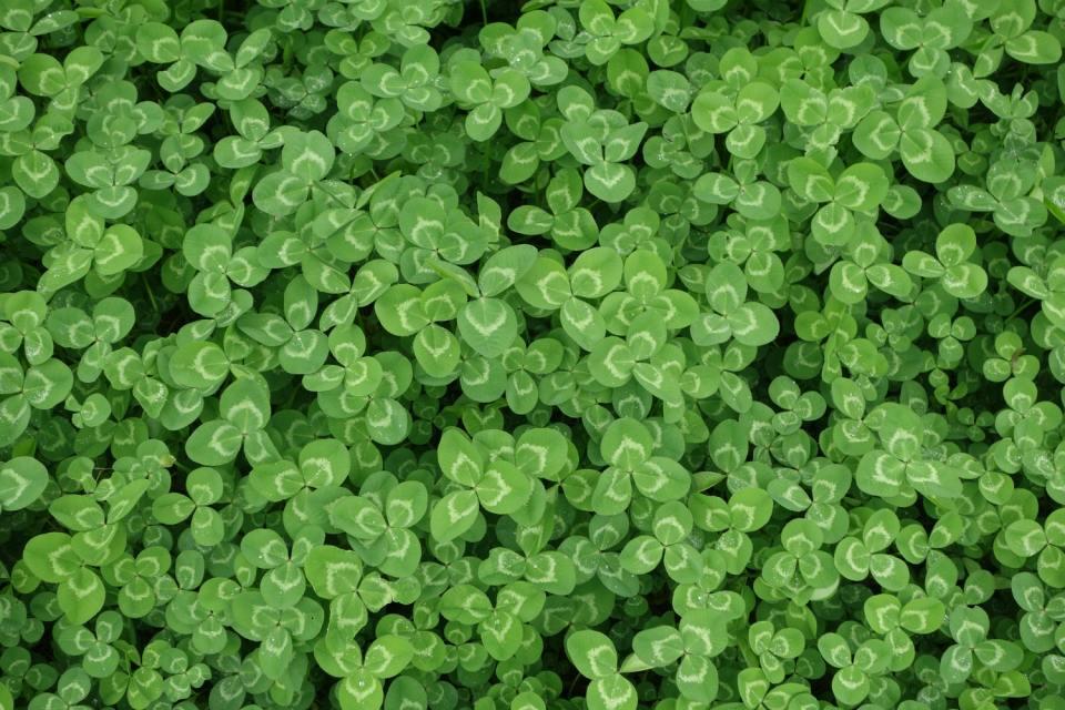Four Leaf Clover Hunt - Kitcast Blog