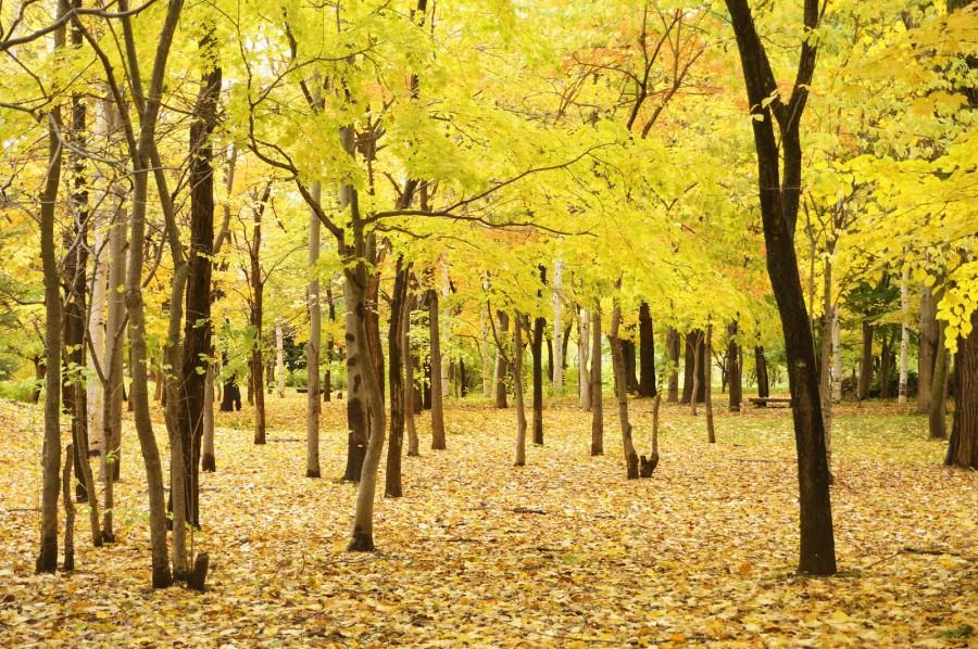 中島公園 銀杏