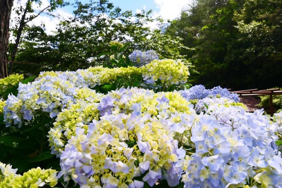武陵農場 繡球花
