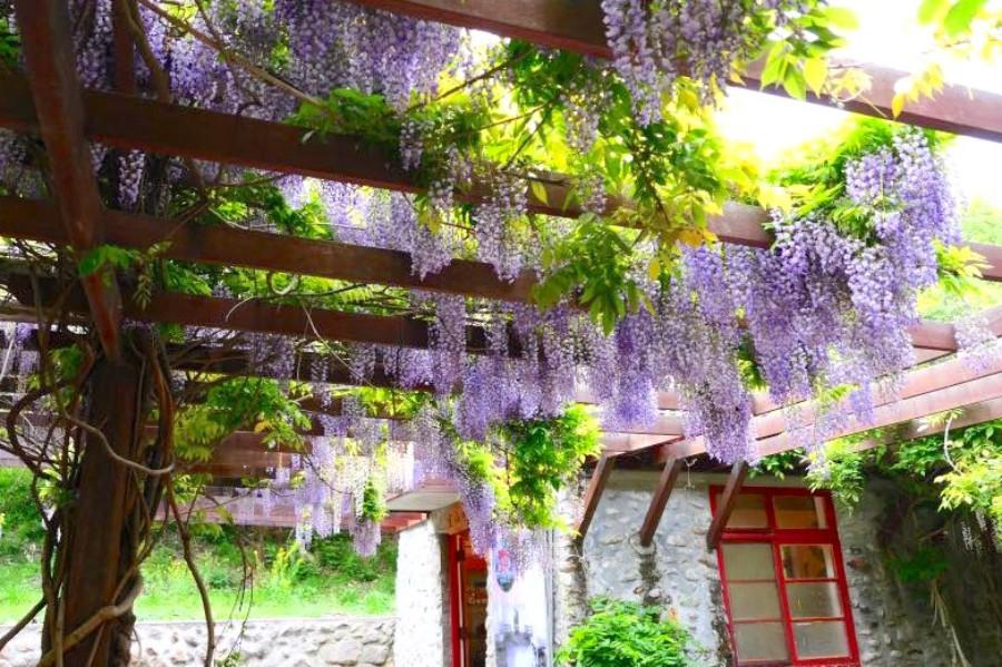 武陵農場 紫藤花