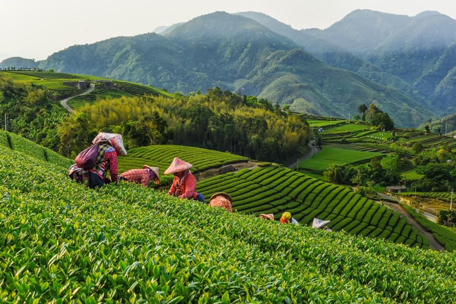 阿里山高山茶/阿里山品茶