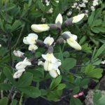 Baptisia leucantha 2 © Isabelle van Groeningen