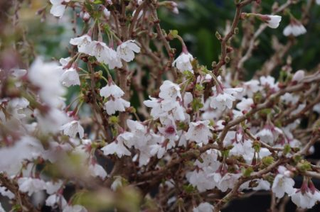 Prunus 'Koyo no May' © Isabelle van Groeningen