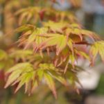 Acer palmatum 'Orange Dream' © Isabelle van Groeningen