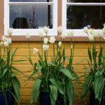 Tulip 'White Triumphator' © Isabelle van Groeningen