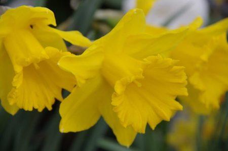 Narzissen - Narcissus 'Dutch Master' © Isabelle van Groeningen
