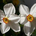 Narcissus poeticus © Isabelle van Groeningen