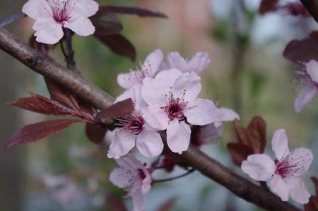 Prunus cerasifera 'Nigra' © Isabelle van Groeningen