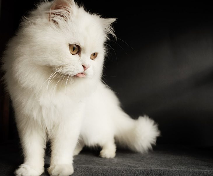 persian cat kitten cute