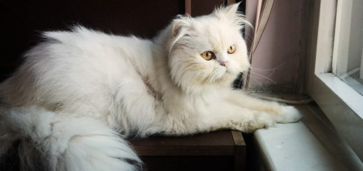 persian cat sun bathing