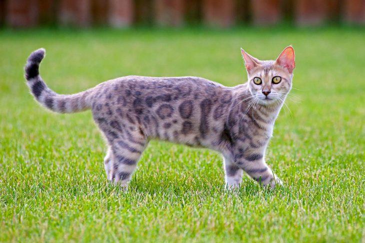 bengal cat grass