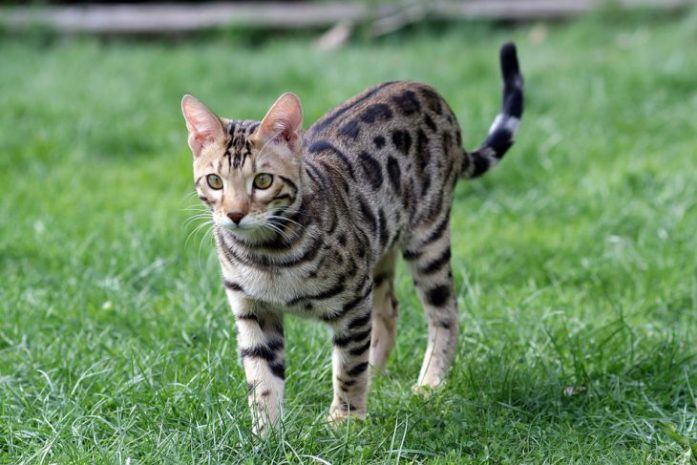 bengal cat prowling