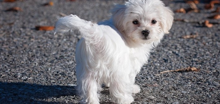 cute adorble white maltese dog breed