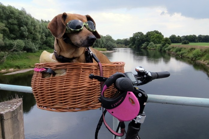 cute brown dachshund breed with sunglasses