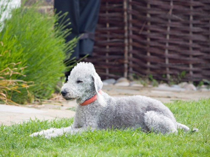 dlington terrier dog breed with ahircut
