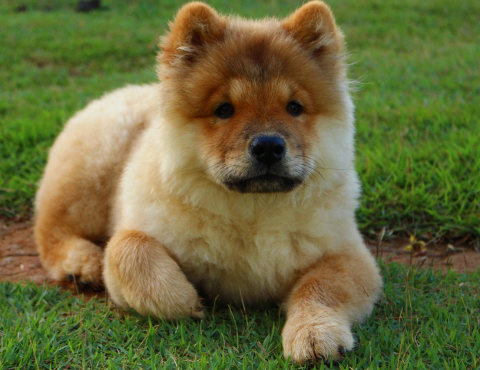 oldest dog breeds chow chow