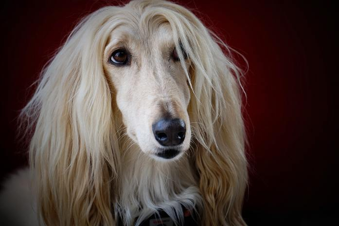 long haired afghan hound