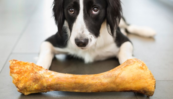 Dog with raw bone — a proven choking hazard that can be considered harmful to give to your dog.
