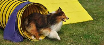 A dog running through the tunnel obstacle during a dog agility training