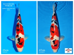 2016 jumbo tosai grow out competition for Tosai koi for sale